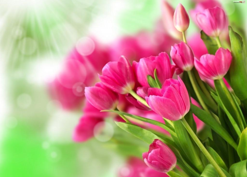 rozowe-tulipany-19